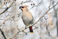Waxwing on branches without leaves Royalty Free Stock Photo