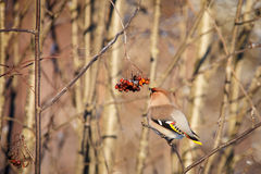 Waxwing in the bush Stock Photography