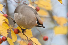 Waxwing de Bohème Photos stock