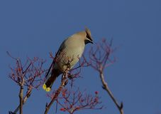 Waxwing de Bohème Photo stock