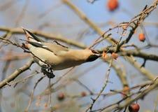 Waxwing die de bevroren appelen in het Park eten royalty-vrije stock foto's