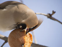 Waxwing eating apple Royalty Free Stock Photo