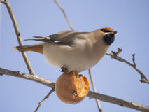 Waxwing eating apple Royalty Free Stock Photography