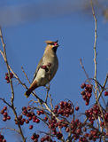 Waxwing eating hawthorn berry winter day. Royalty Free Stock Photos