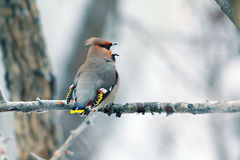 Waxwing eating red berries Royalty Free Stock Image