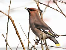 Waxwing, eating up a willow bud. Cedar waxwing, sitting on a branch of a tree and eating up a willow bud Stock Photography