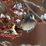 Waxwing eats ashberries at rowan-tree Royalty Free Stock Photo