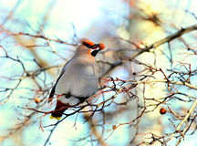 Waxwing eats berries on the branch. Waxwing eats red berries  on the branch Stock Photography