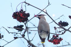 Waxwing eats berries of mountain ash Stock Images