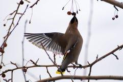 Waxwing en árbol Imagen de archivo libre de regalías