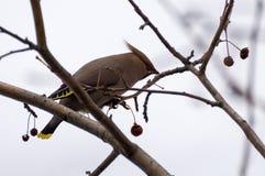 Waxwing en árbol Fotografía de archivo