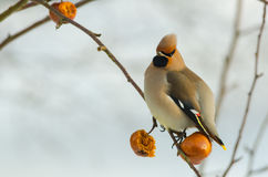 Waxwing Royalty Free Stock Images