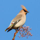 Waxwing on Frosted Twig Stock Photos