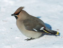 Waxwing on March snow. Siberia. Novosibirsk. Royalty Free Stock Image