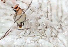 Waxwing mit Haube auf einer Niederlassung am Schneewintertag Lizenzfreie Stockfotografie