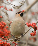 Waxwing with mountain ash Stock Photos