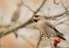 Waxwing with mountain ash Royalty Free Stock Photography