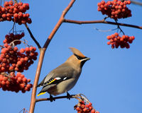 Waxwing on mountain ash tree Stock Photo