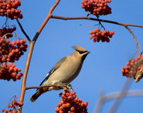 Waxwing on mountain ash tree Royalty Free Stock Images