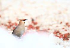 Waxwing neemt winter van het boom de waxwing wild Stock Foto