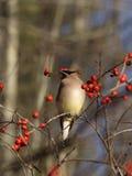 Waxwing nella bacca Bush di inverno Fotografia Stock