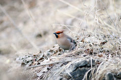 Waxwing On Branches Without Leaves Stock Photography