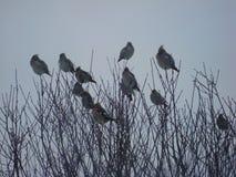 Waxwing, ou lat ordinário do Waxwing O garrulus de Bombycilla é umas aves canoras de uma ordem passerine da família dos waxwings fotos de stock