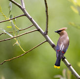 Waxwing Perched Royalty Free Stock Photo