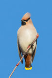 Waxwing Portrait Royalty Free Stock Photos