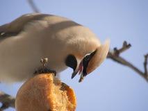 Waxwing que come la manzana Imagen de archivo