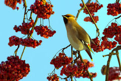Waxwing among the red berries of mountain ash Stock Photos
