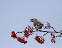 A  Waxwing with a red fruit in the mouth. Perched on top of the branches Stock Image