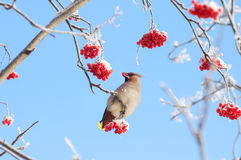 Waxwing on the rowan Stock Image