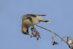 Waxwing at rowan-tree against blue sky background Royalty Free Stock Images