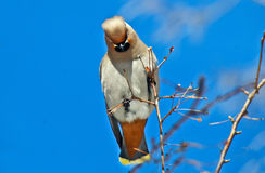 Waxwing. Royalty Free Stock Image