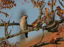 A waxwing sat in rowan bush Stock Photos
