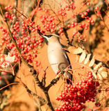 A waxwing sat in rowan bush Royalty Free Stock Photos