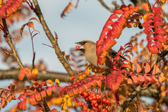 A waxwing sat in rowan bush eating a berry Stock Photography