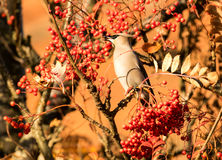 A waxwing sat in rowan bush eating a berry Royalty Free Stock Images