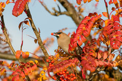 A waxwing sat in rowan bush eating a berry Royalty Free Stock Image