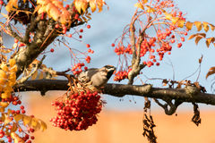 A waxwing sat in rowan bush eating a berry Royalty Free Stock Photos
