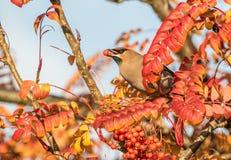 A waxwing sat in rowan bush eating a berry Stock Photo