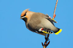 Waxwing Stock Images