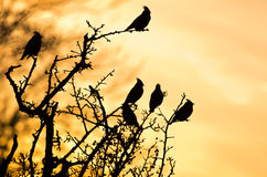 Waxwing silhouette Royalty Free Stock Image