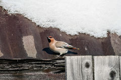 Waxwing sings spring song in a sunny day. Waxwing sings spring song on the rusty iron roof of an old barn in a sunny day Stock Images