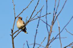 Waxwing sits on a tree branch Stock Image