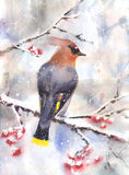 Waxwing  sitting on a branch Stock Images