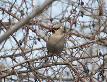 Waxwing sitting in a hawthorn bush during feeding. Royalty Free Stock Images