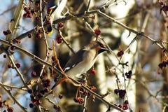 Waxwing som äter bär med, vinteröverlevnad, flockar av fåglar, matande fåglar Royaltyfria Bilder
