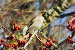 Waxwing som äter bär med, vinteröverlevnad, flockar av fåglar, matande fåglar Arkivbild